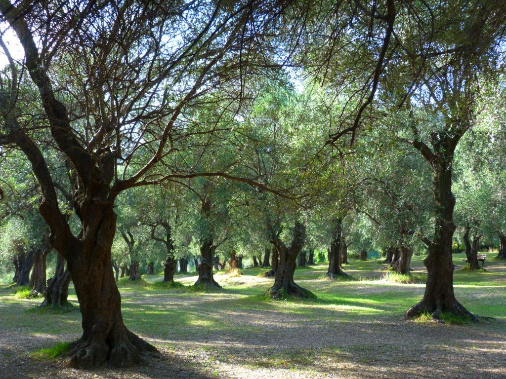 Oliviers, parc du Pian, Menton